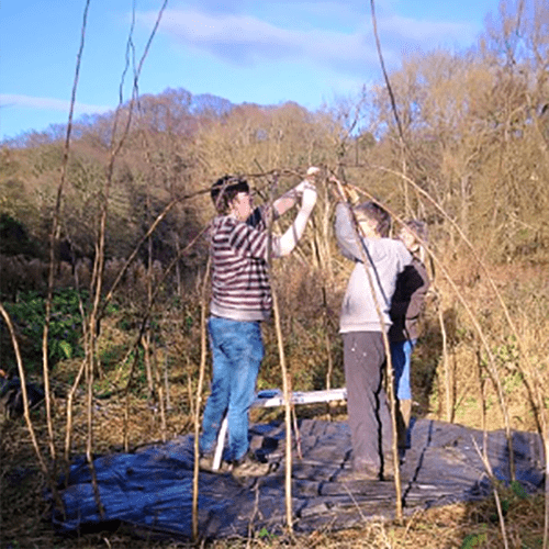 Building living willow structures fencing